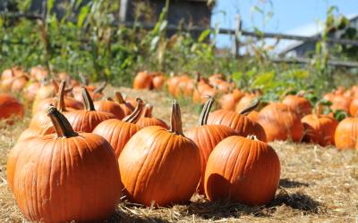 Pumpkin For Pets? Is It Safe?